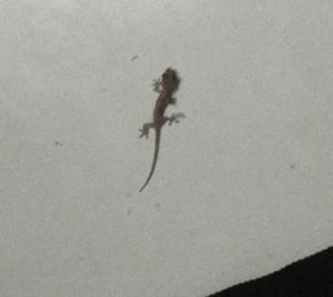 lizard6